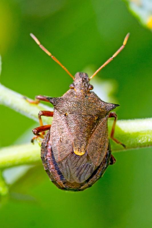 Torntæge (Picromerus bidens)