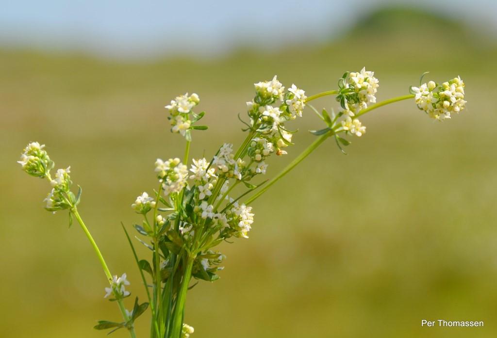 Foto/billede af Lyng-Snerre (Galium saxatile)