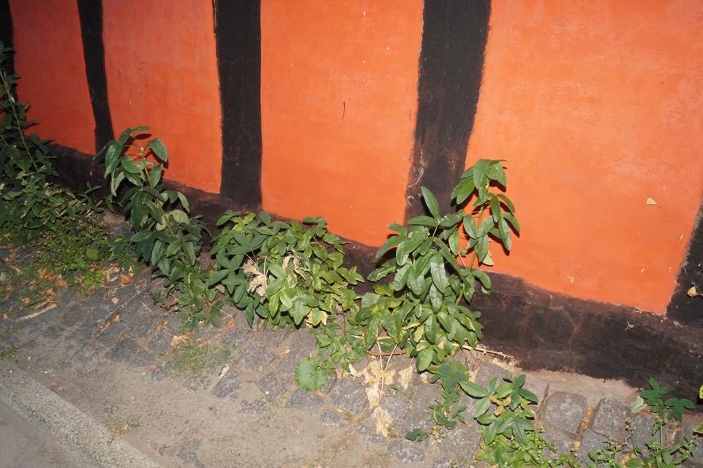 Foto/billede af Almindelig Guldregn (Laburnum anagyroides)