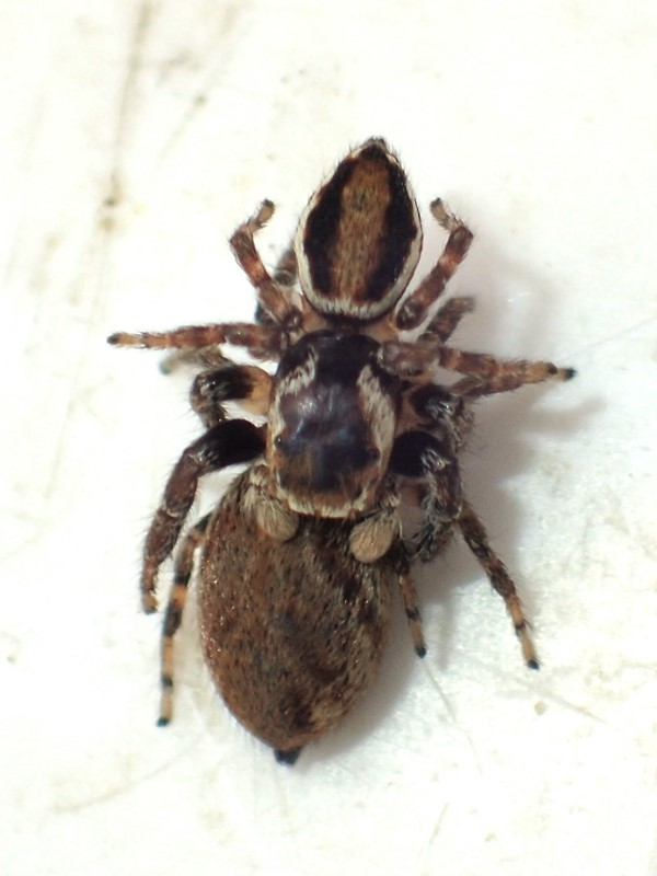Broget Springedderkop (Evarcha falcata)