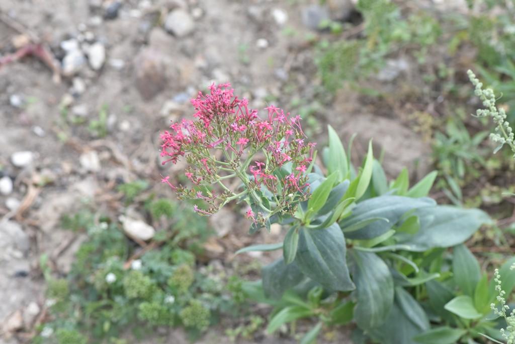 Rød Sporebaldrian (Centranthus ruber)