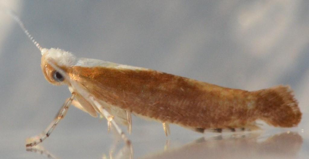 Foto/billede af Argyresthia albistria (Argyresthia albistria)