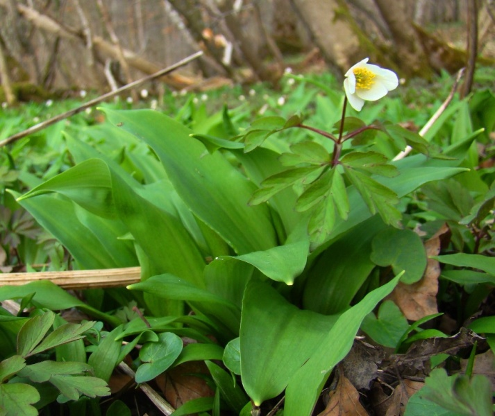 Foto/billede af Rams-Løg (Allium ursinum)