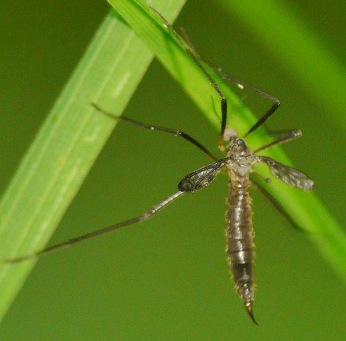 Idioptera pulchella