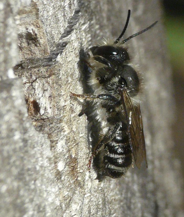 Foto/billede af Flerfarvet Bladskærerbi (Megachile versicolor)