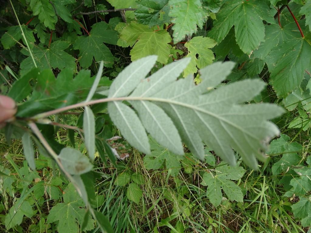 Foto/billede af Finsk Røn (Sorbus hybrida)