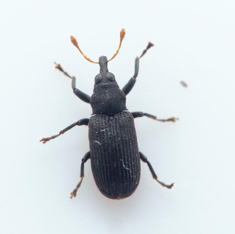Magdalis flavicornis