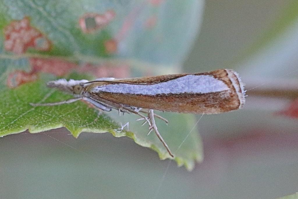 Foto/billede af Catoptria margaritella (Catoptria margaritella)