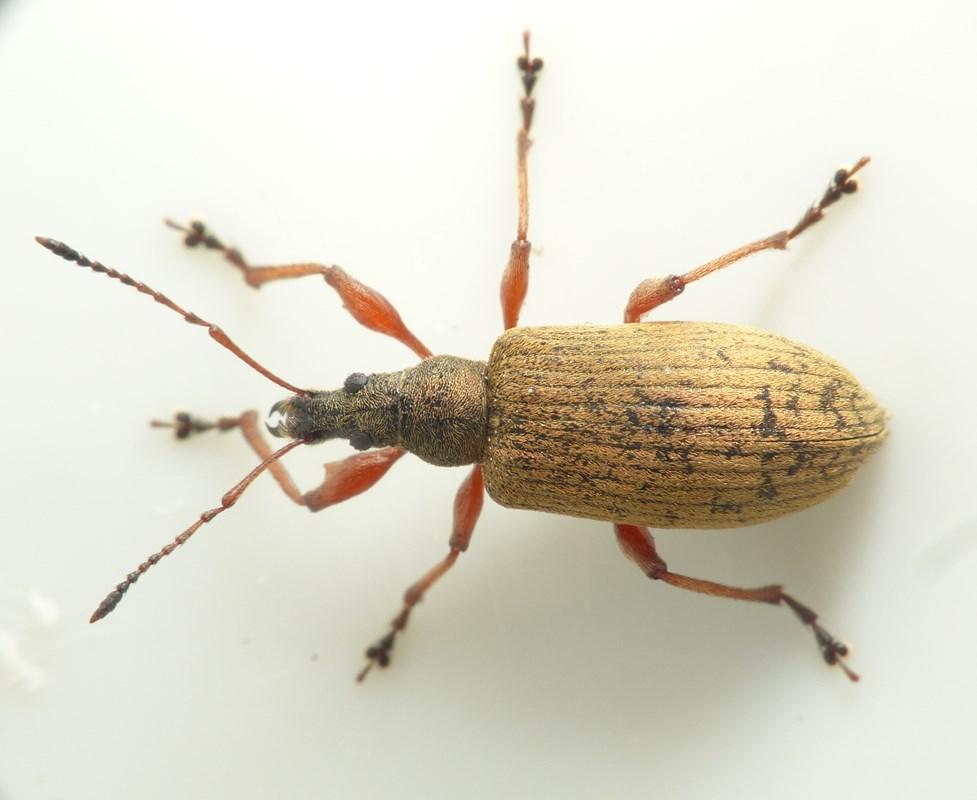 Foto/billede af Phyllobius calcaratus (Phyllobius calcaratus)