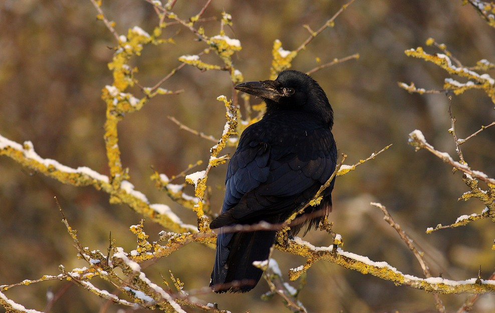 Foto/billede af Råge (Corvus frugilegus)