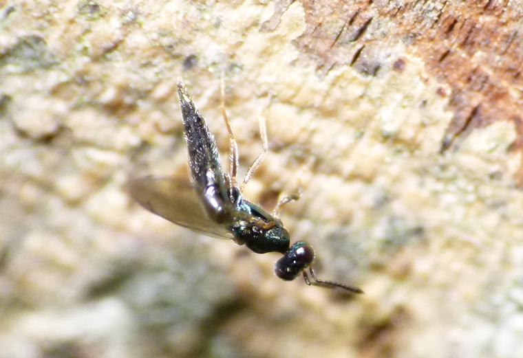 Calosota sp. (Calosota sp.)