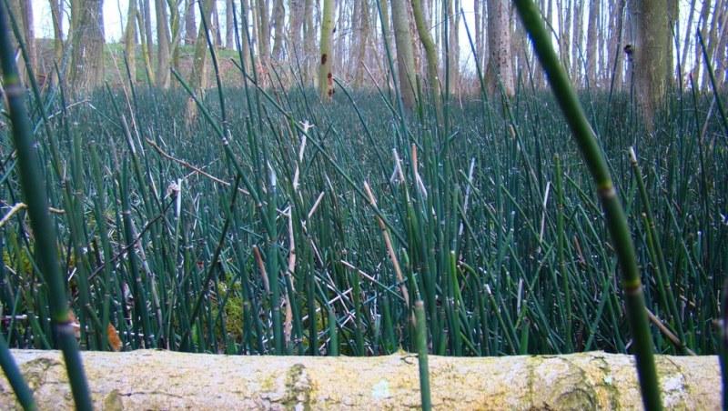 Foto/billede af Skavgræs (Equisetum hyemale)