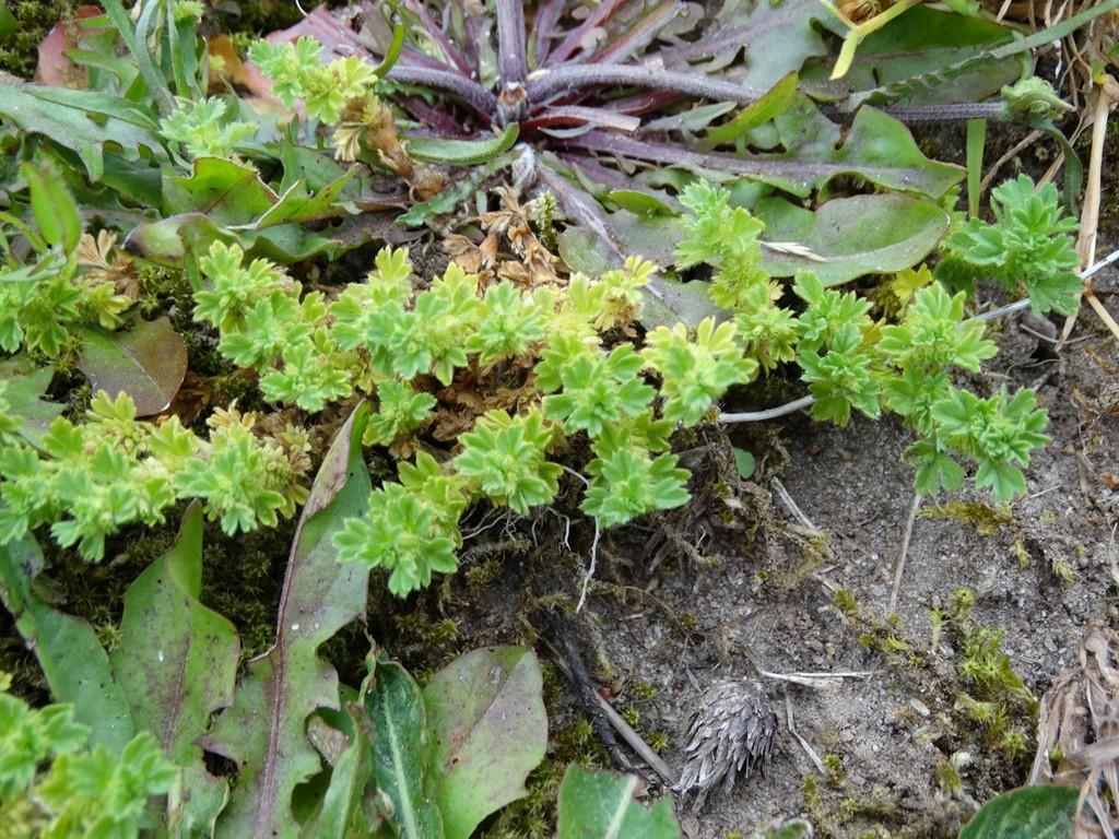 Almindelig Dværgløvefod (Aphanes arvensis)