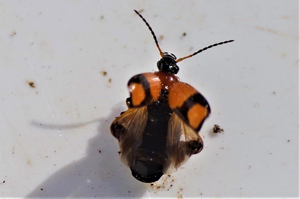 Foto/billede af Korstegnet Græsløber (Lebia cruxminor)