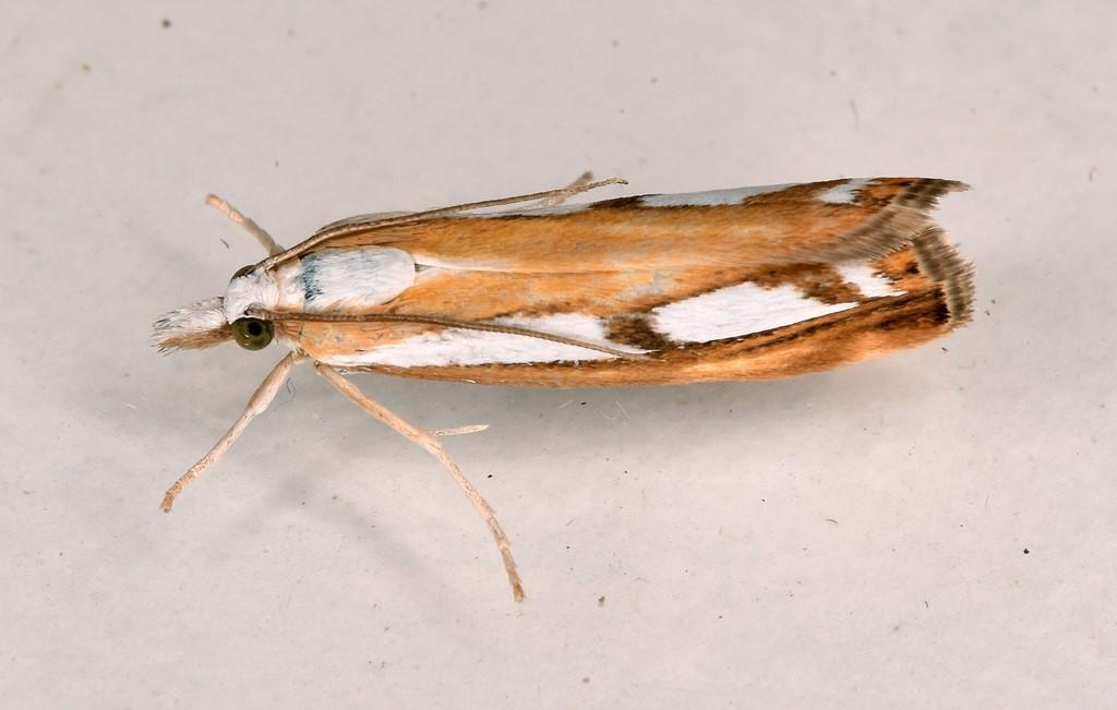 Foto/billede af Broget Græsmøl (Catoptria permutatellus)