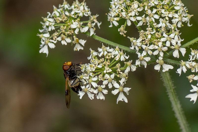 Foto/billede af Hvidbåndet Humlesvirreflue (Volucella pellucens)