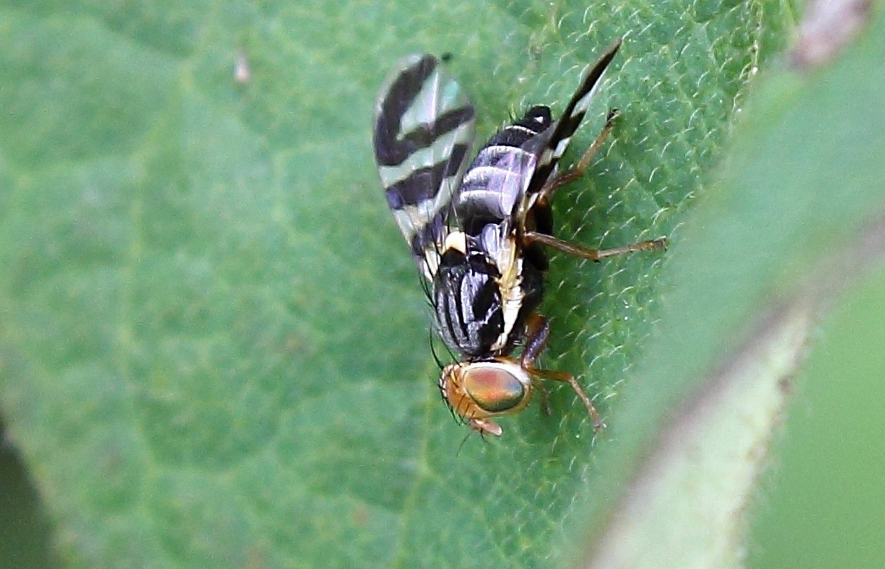 Havtornflue (Rhagoletis batava)