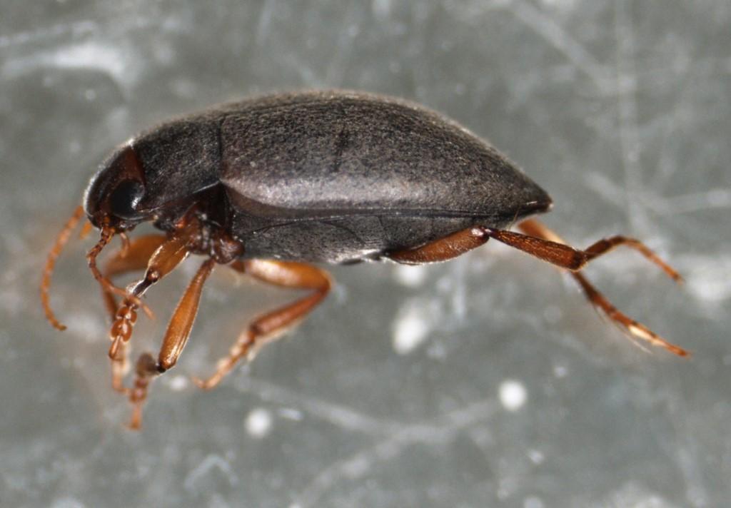 Deronectes latus (Deronectes latus)