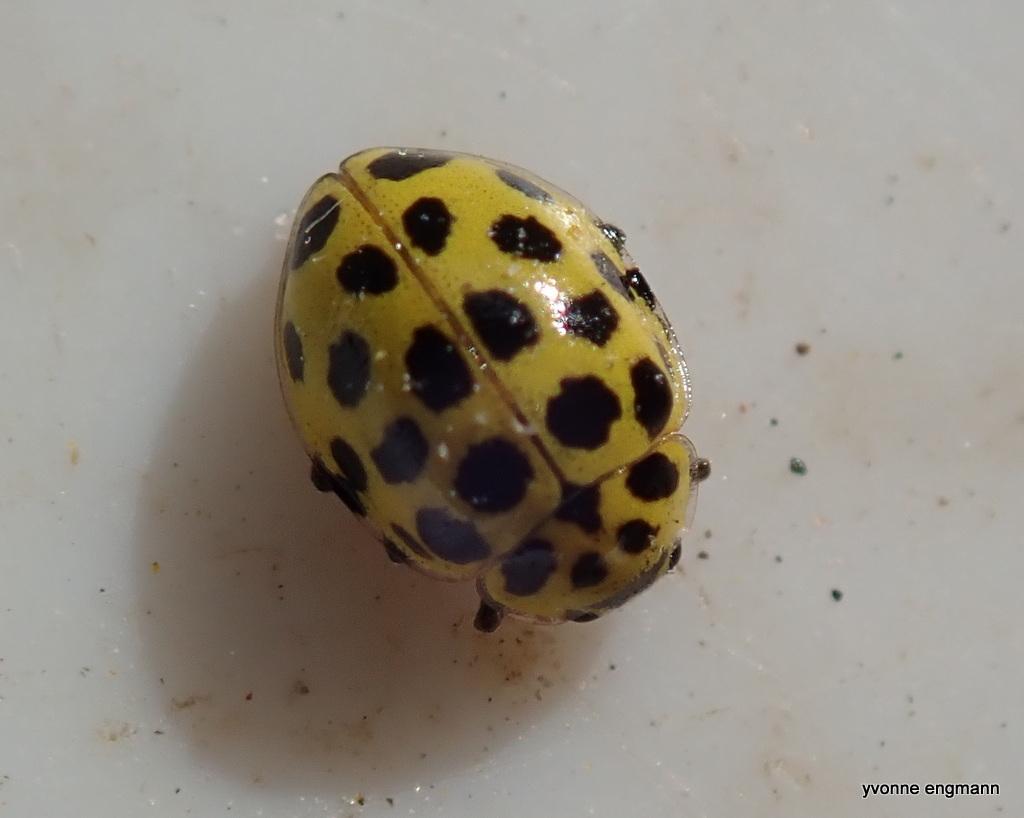 Toogtyveplettet Mariehøne (Psyllobora vigintiduopunctata)