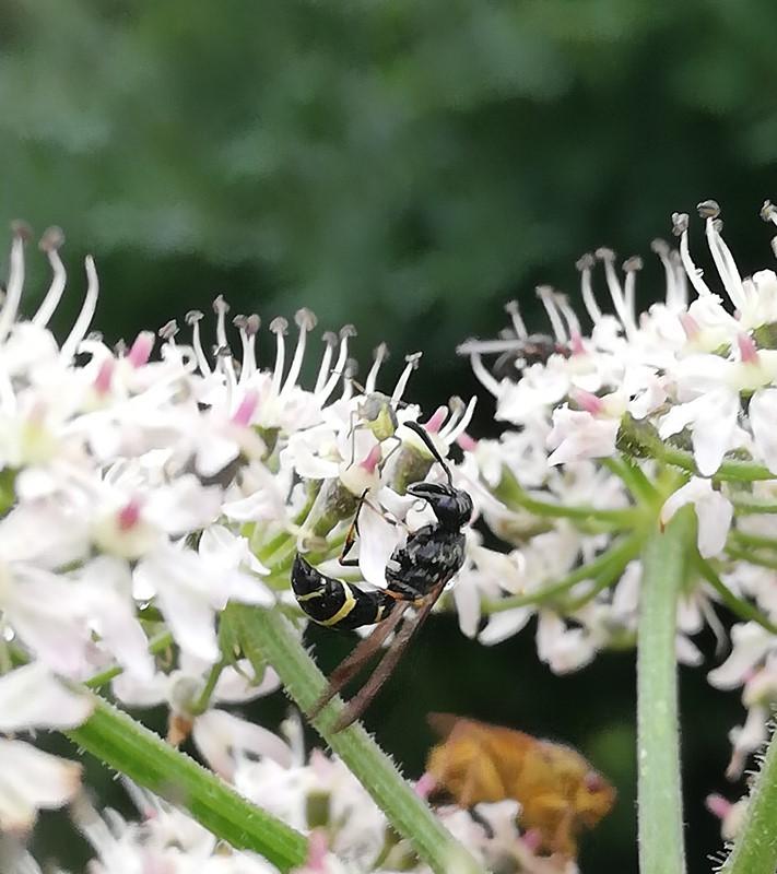 Foto/billede af Symmorphus bifasciatus (Symmorphus bifasciatus)