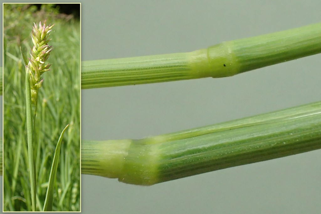 Fløjlsgræs x Krybende Hestegræs (Holcus Xhybridus)