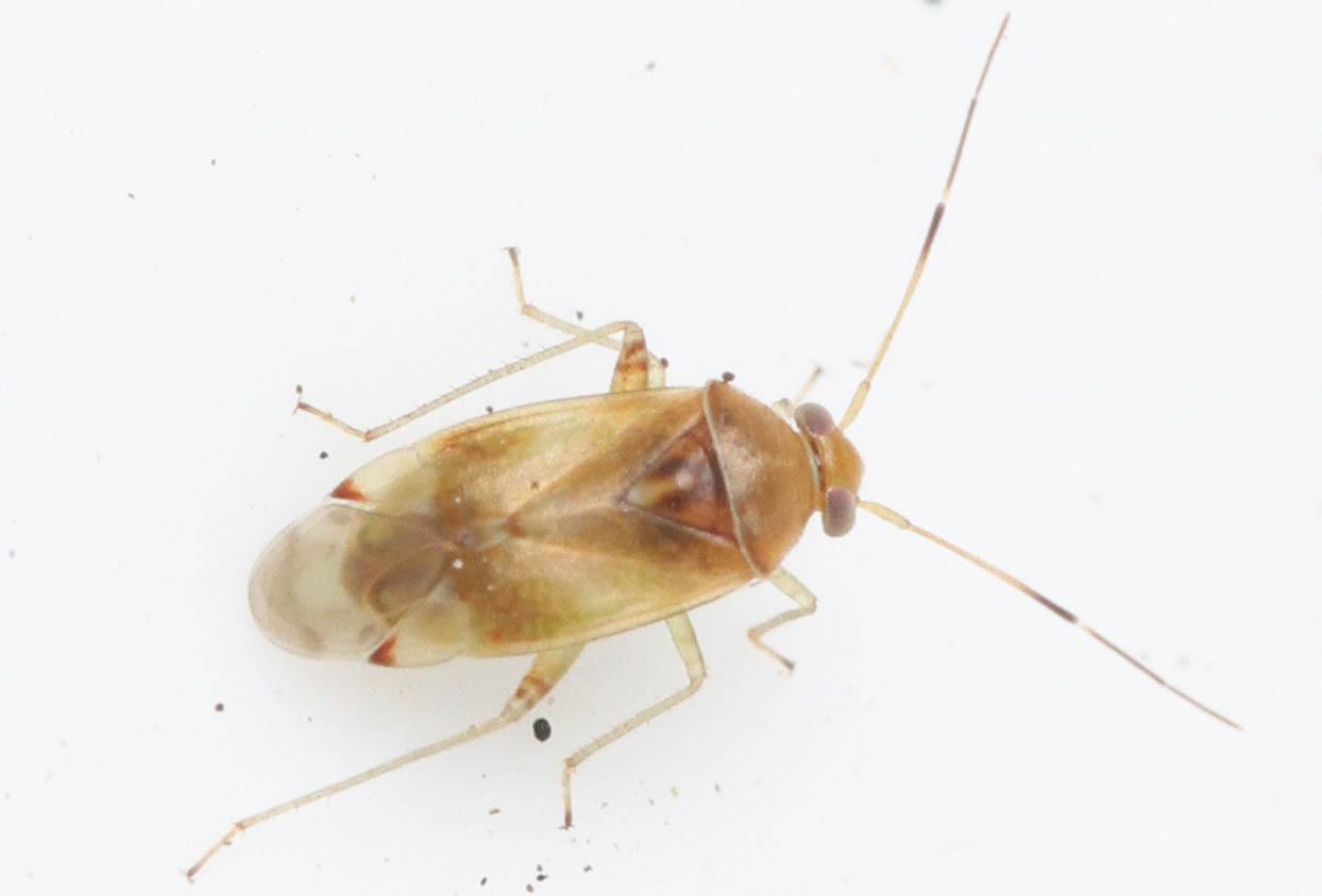 Foto/billede af Pinalitus cervinus (Pinalitus cervinus)