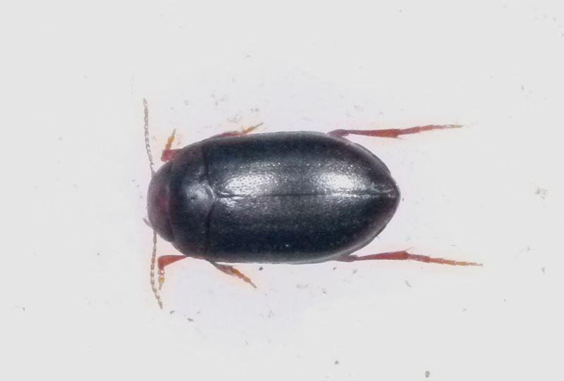 Hydroporus melanarius
