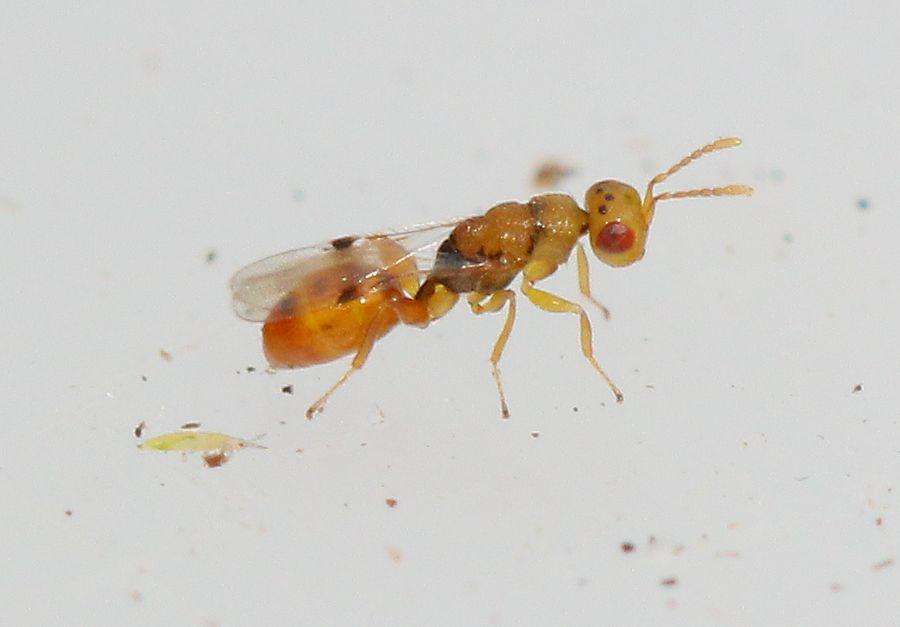Sycophila sp. (Sycophila sp.)