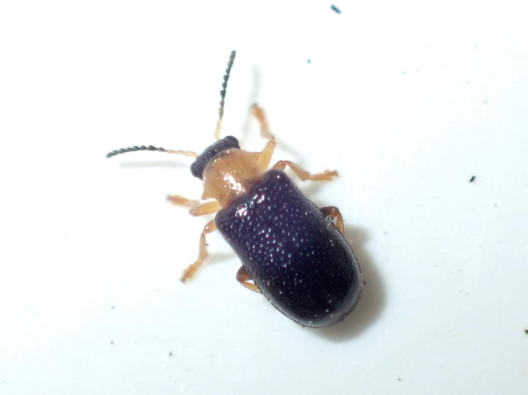 Gulhalset Bladbille (Zeugophora flavicollis)