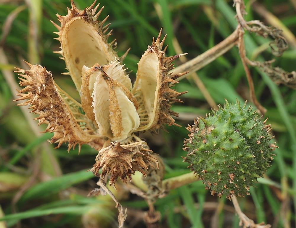 Pigæble (Datura stramonium)