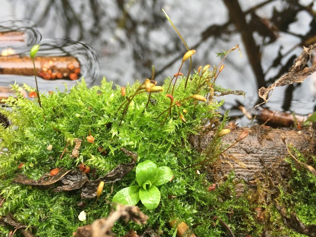 Foto/billede af Stor Pytmos (Leptodictyum riparium)