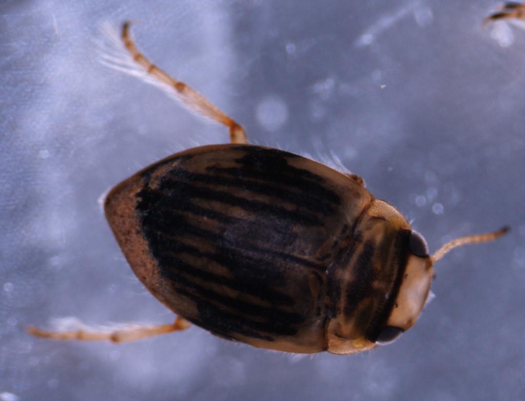 Kuglestrømvandkalv (Nectoporus sanmarkii)