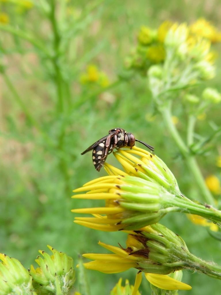 Foto/billede af Epeolus variegatus (Epeolus variegatus)