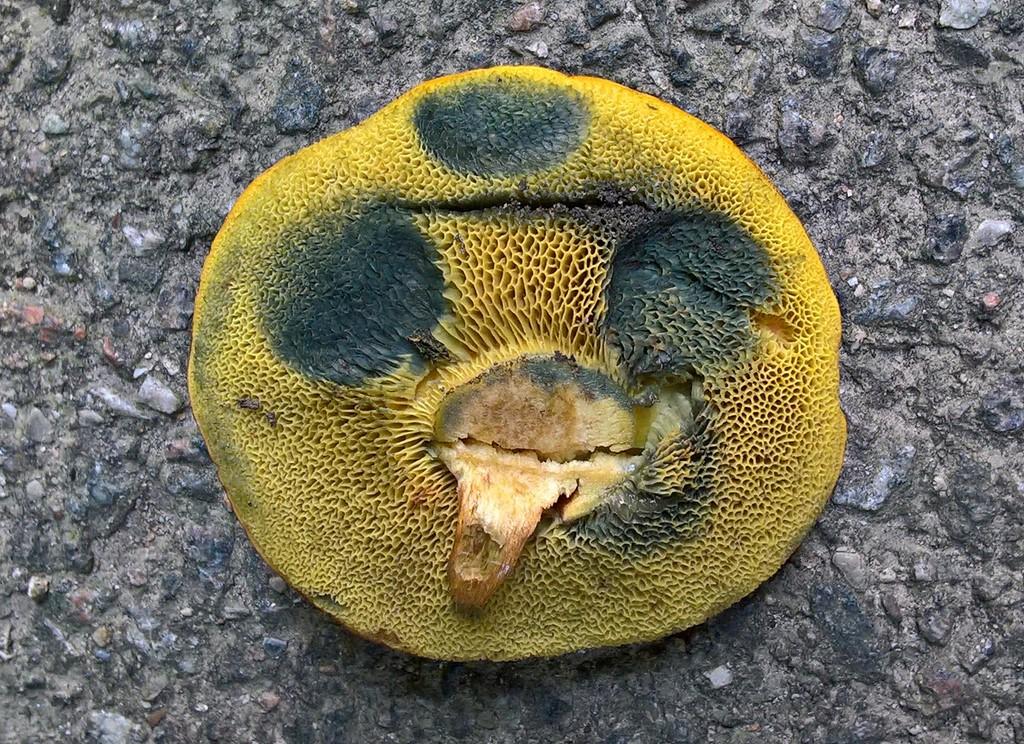 Foto/billede af Blodrød Rørhat (Hortiboletus rubellus)