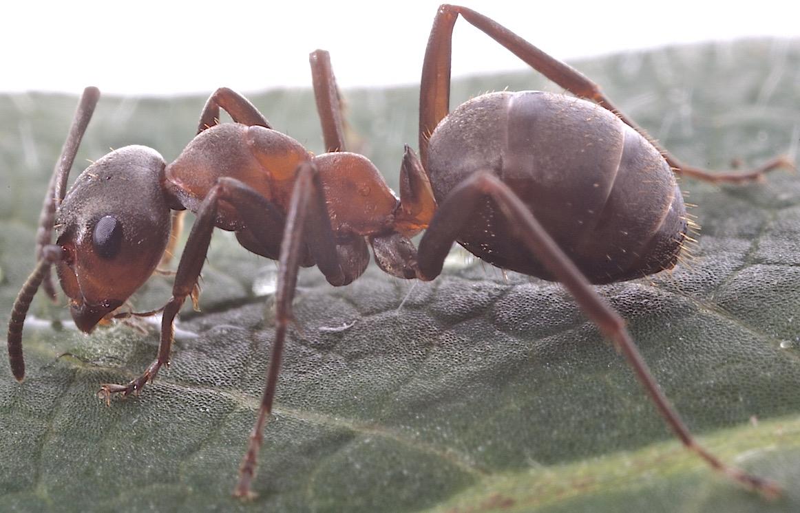 Foto/billede af Rød skovmyre (Formica rufa)