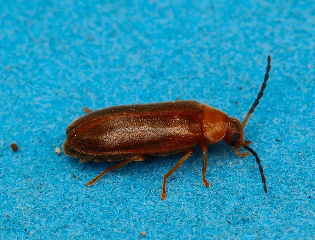Foto/billede af Conopalpus testaceus (Conopalpus testaceus)