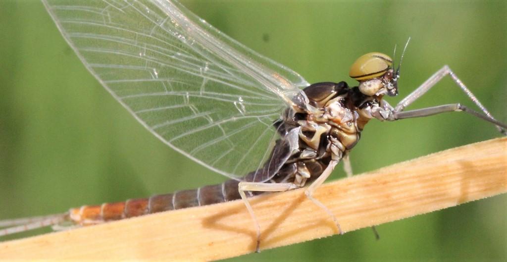 Gul Sødøgnflue
