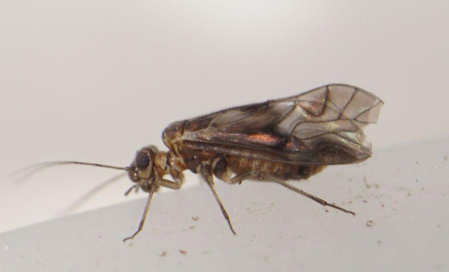 Elipsocus sp. (Elipsocus sp.)