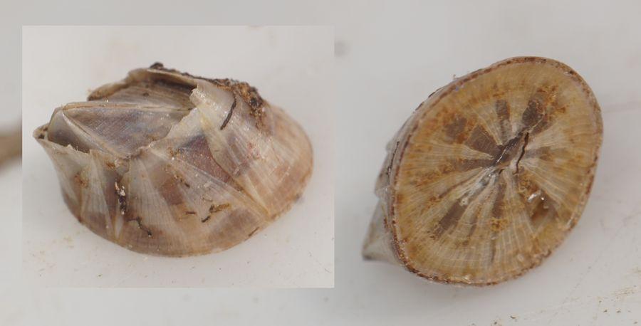 Brakvandsrur (Amphibalanus improvisus)