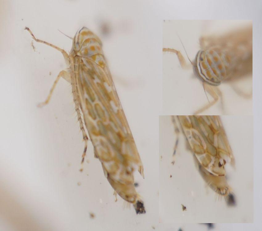 Kogleakscikade (Paralimnus phragmitis)