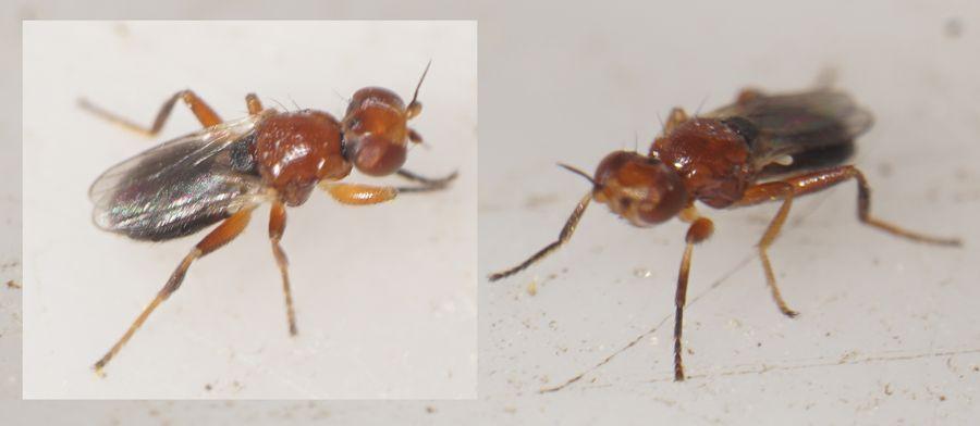 Elachiptera brevipennis (Elachiptera brevipennis)
