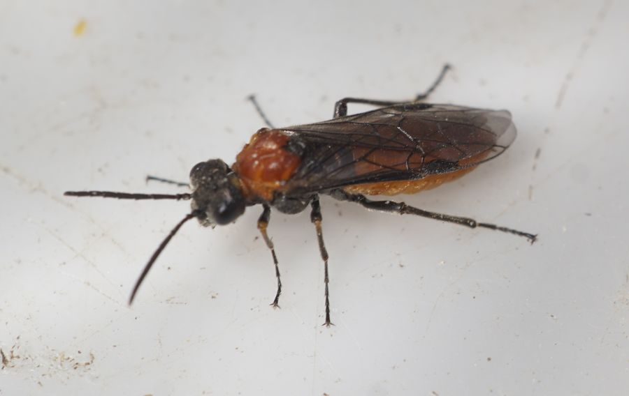 Dolerus aericeps (Dolerus aericeps)