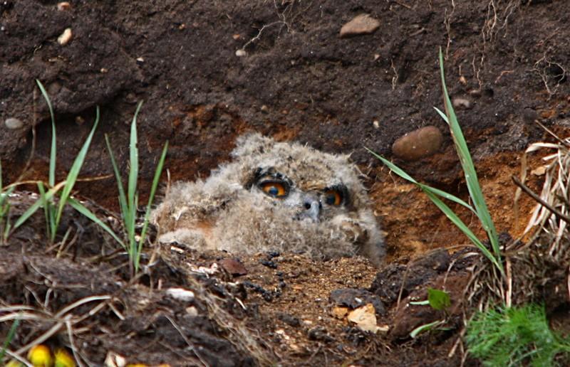 Foto/billede af Stor hornugle (Bubo bubo)
