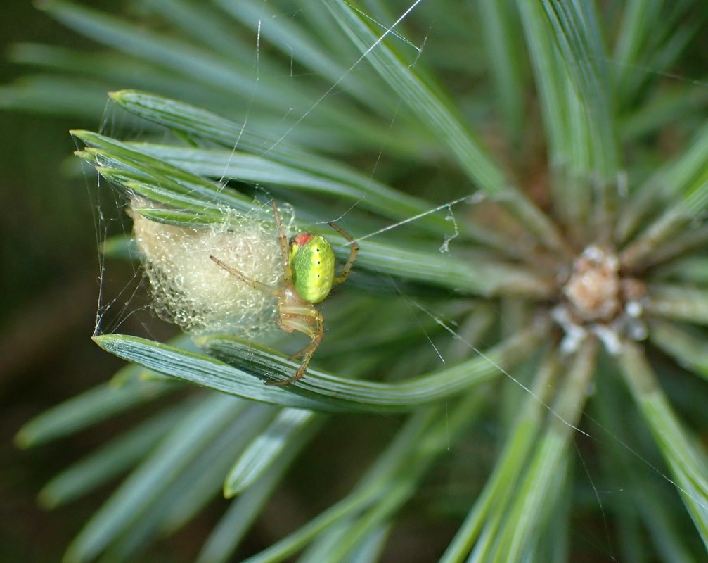 Agurkeedderkop sp. (Araniella sp.)