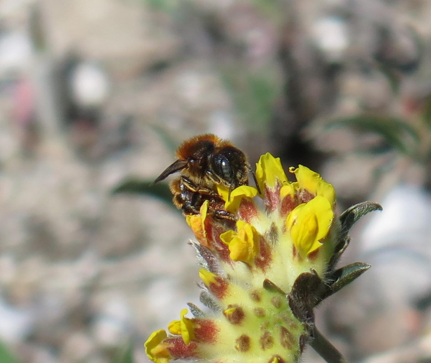 Foto/billede af Guldmurerbi (Osmia aurulenta)