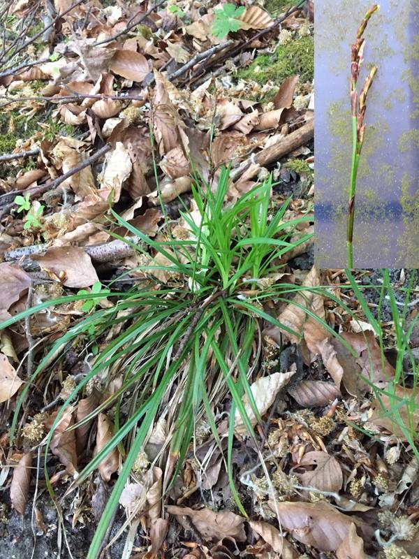 Foto/billede af Finger-Star (Carex digitata)