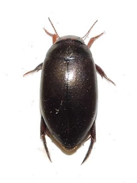 Ilybius angustior (Ilybius angustior)