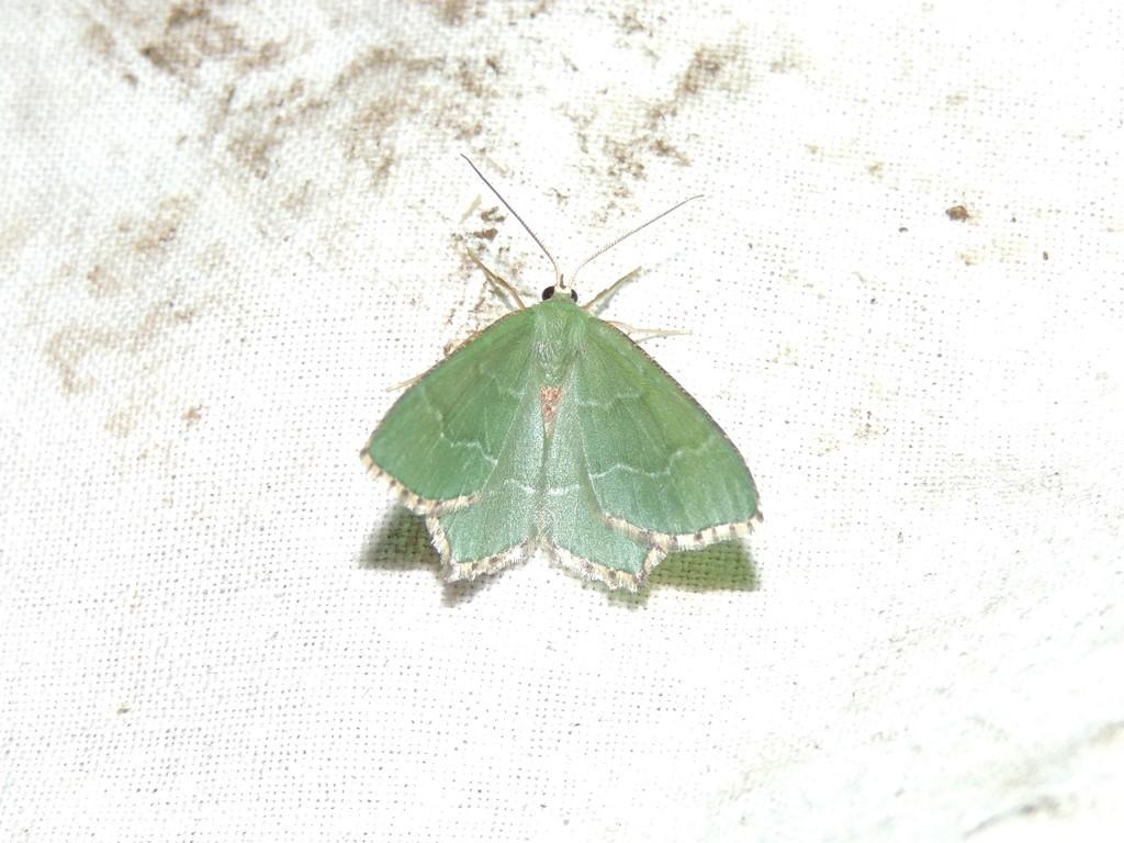 Lundmåler (Hemithea aestivaria)