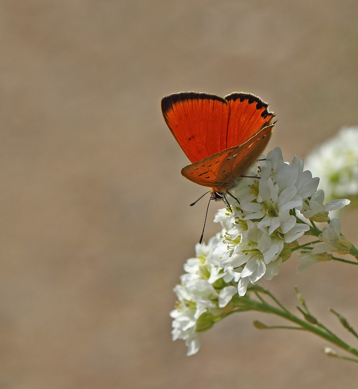 Foto/billede af Dukatsommerfugl (Lycaena virgaureae)