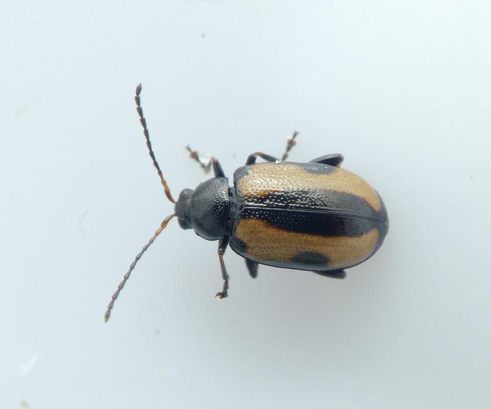 Phyllotreta dilatata